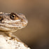 Rock Lizard | Clive Walkden Photographer