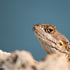 Peaking Lizard | Clive Walkden Photographer