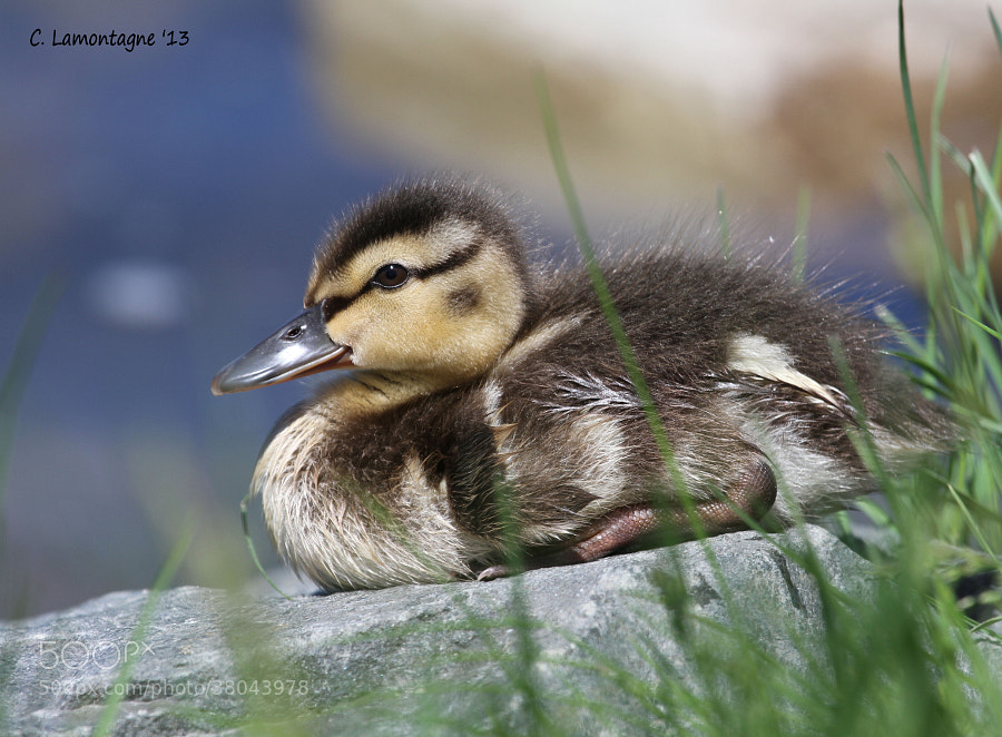 Mallard duckling sunning himself on a rock on the water's edge. Mom and siblings were nearby.