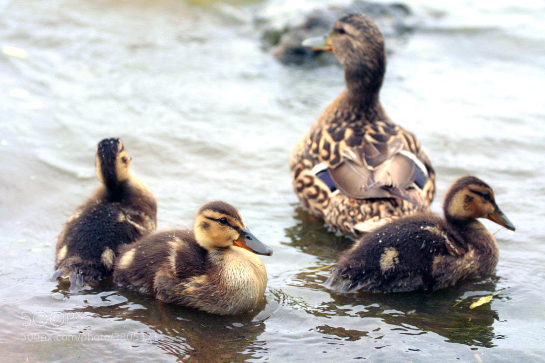 Photograph little ducks by Ludmila Kravchuk on 500px