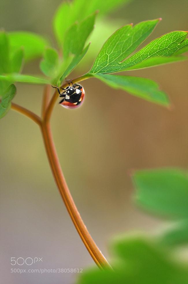 Photograph Ladybug by Mirka Wolfova on 500px