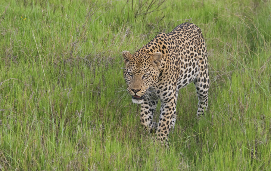 Around 15 minutes before finding the Male Leopard, we had found this female who just walked up the car, walked past and disappeared into the long grass. Taken in Kwara concession Botswana