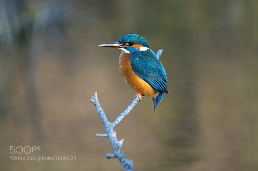 Photograph Alcedo atthis - Common Kingfisher - Martin-Pêcheur d'Europe by Pescalune Photo on 500px