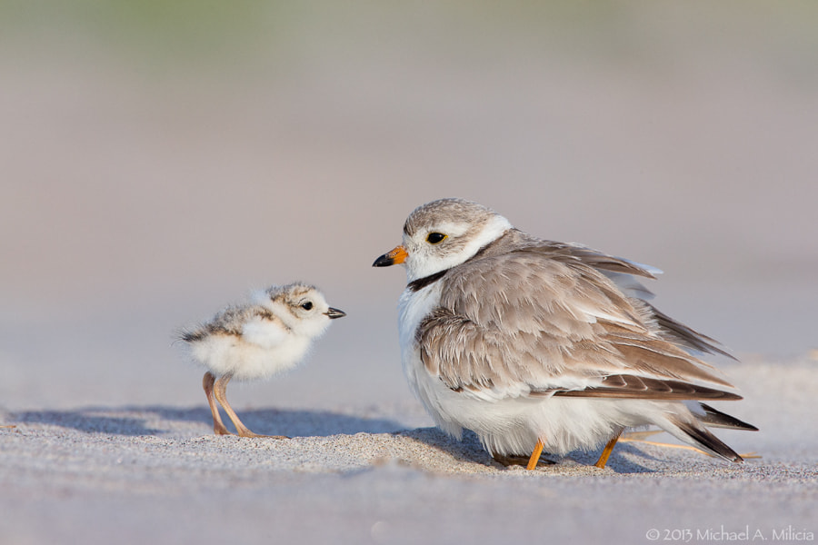 Photograph Piping Plover and Chick by Michael Milicia on 500px