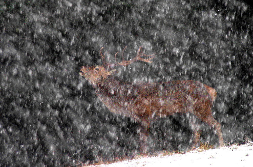 Photograph Deer in the snow by march graziano on 500px