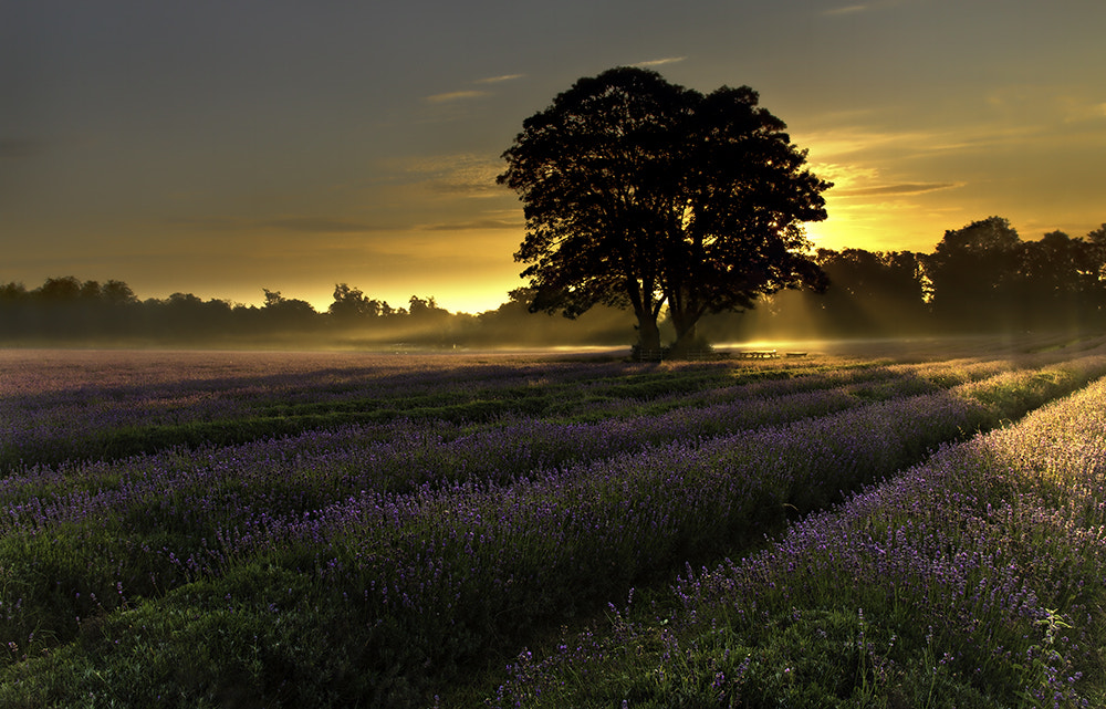 Photograph Morning Lavender by Daniel Hannabuss on 500px