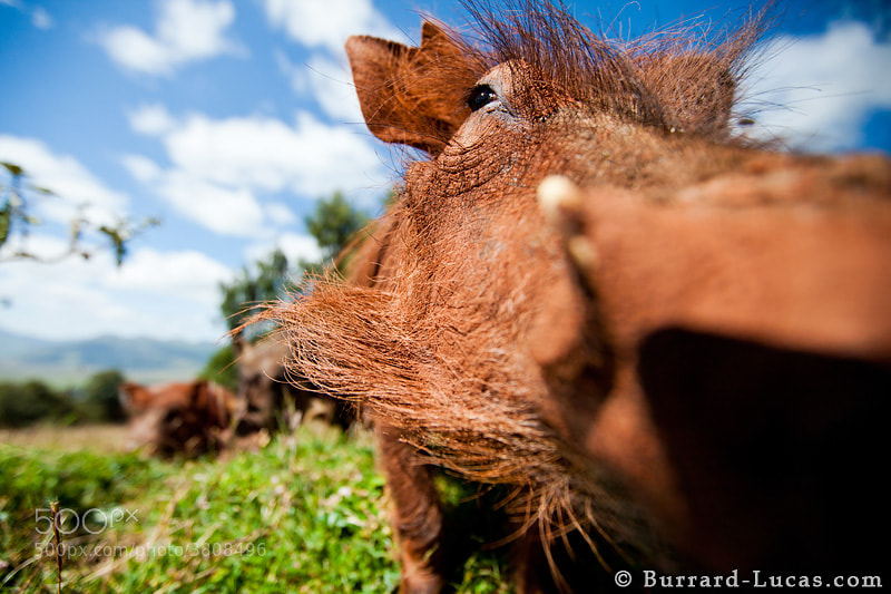 """This shot was taken on my first full day in the Ethiopian highlands. This family of warthogs regularly visited our campsite so I set up a remote camera with a wide-angle lens to photograph them as they rummaged around for food. They had just had a mud bath in some particularly red mud… hence the orange complexion :)  - <a href=""""http://www.ethiopianwolfproject.com/"""">Ethiopian Wolf Project</a>"""