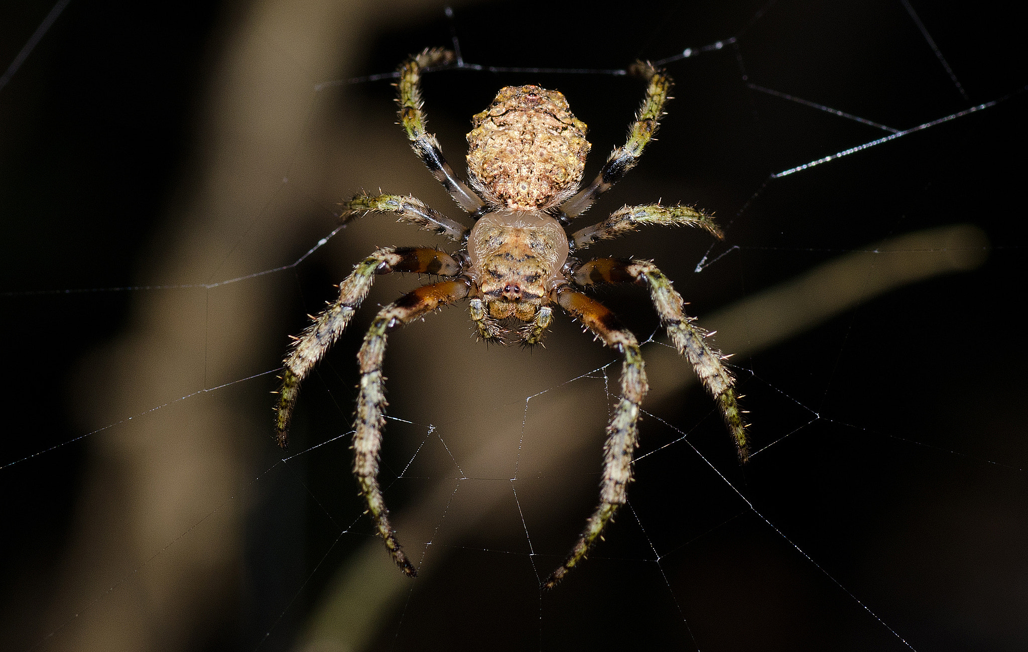Photograph Orb Weaver by Jersey Lotte on 500px