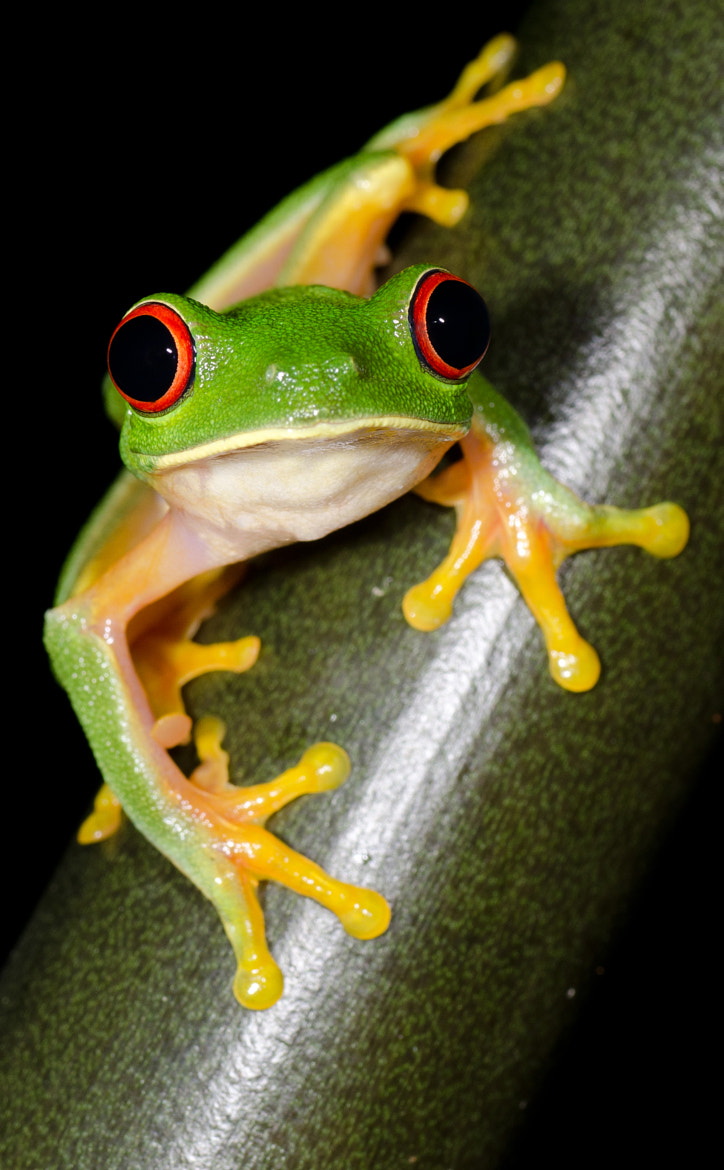 Photograph Red Eyed Tree Frog by Misumena  on 500px