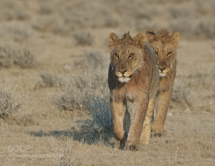 Two young males walking across the plains of Etosha National Park, Namibia