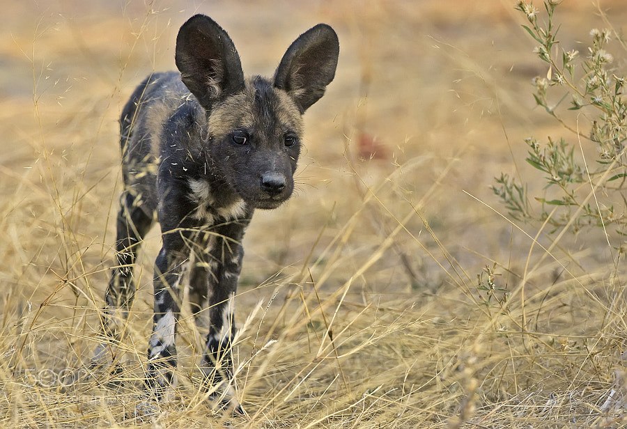 This cue little Wild Dog pup was part of the pack that we folled for many days in the Mapula concession, Botswana