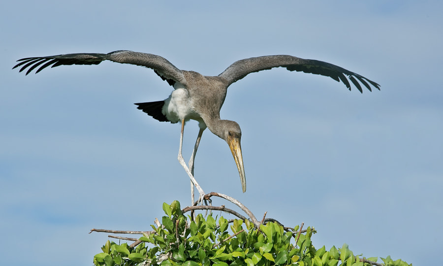 This Juvenile is practising landing skills in a high wind on the Okavango Delta