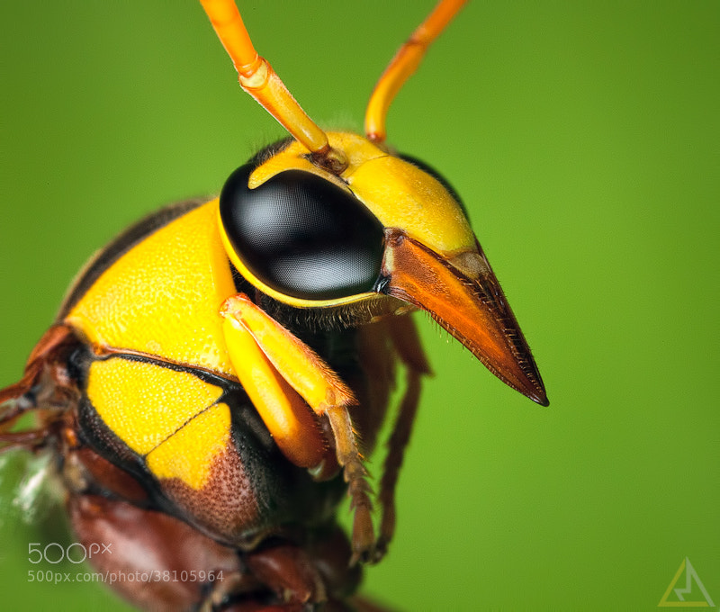 Photograph Potter Wasp by Lo Ma on 500px