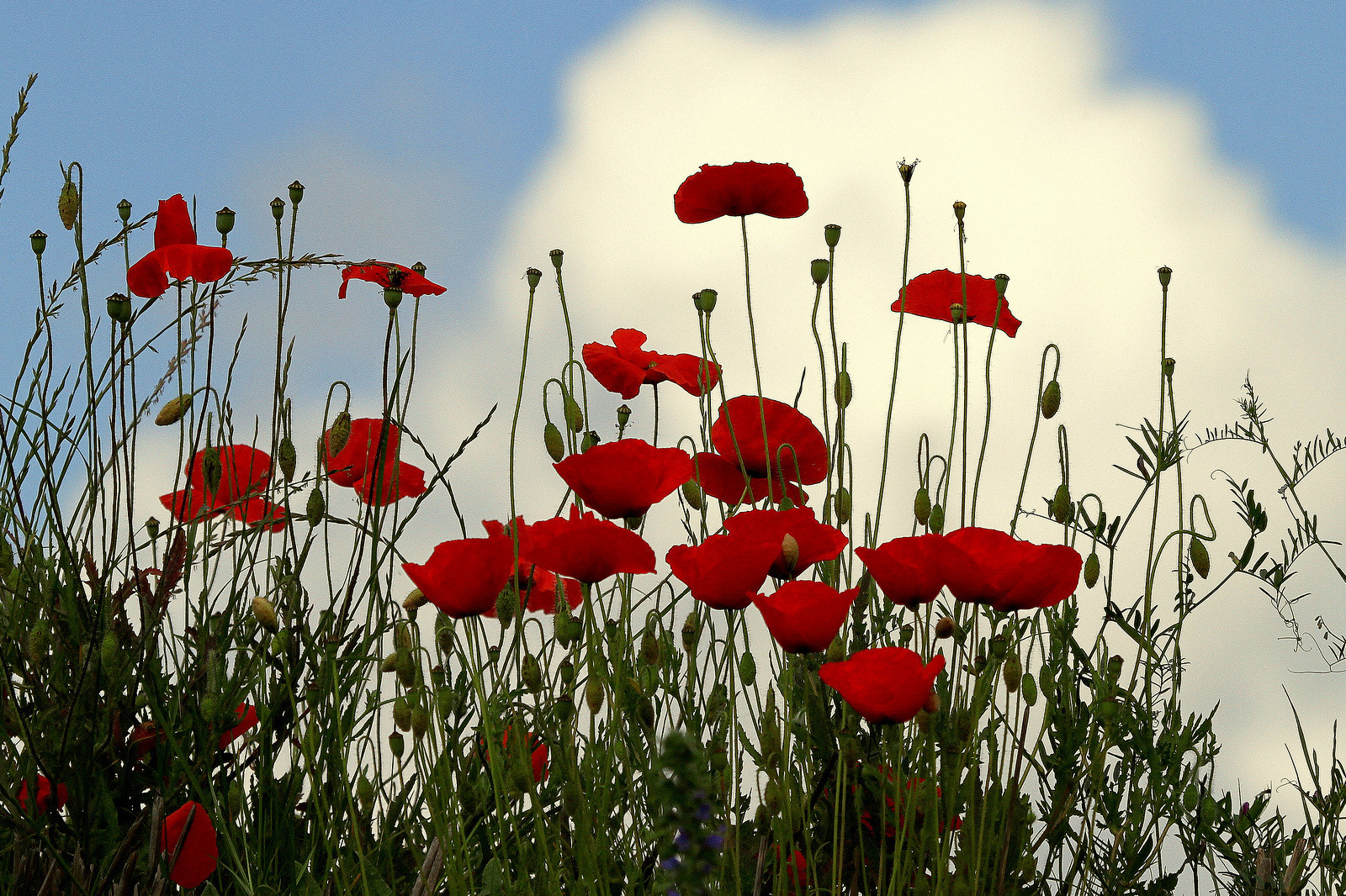Photograph Red Poppies by Rainer Leiss on 500px