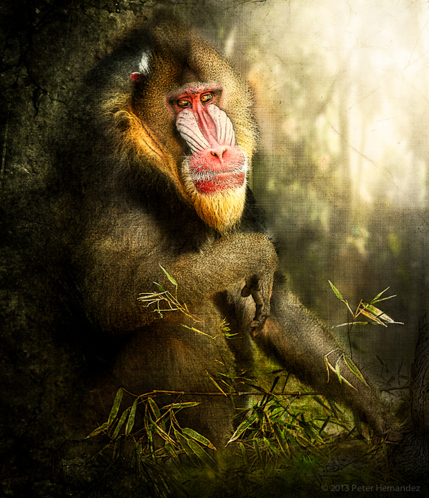 Photograph Baboon Photo Art by Peter Hernandez on 500px