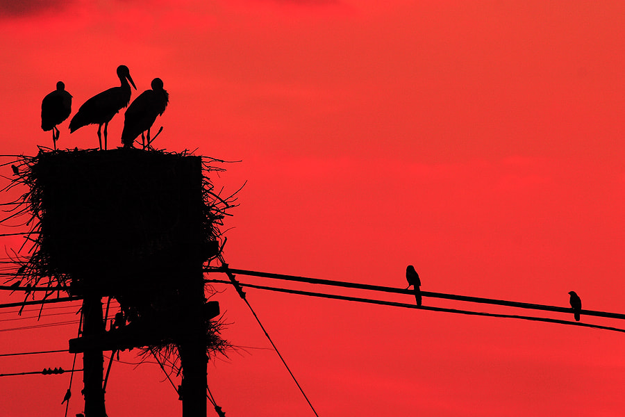 Photograph White Storks & Dusk by Andrés López on 500px