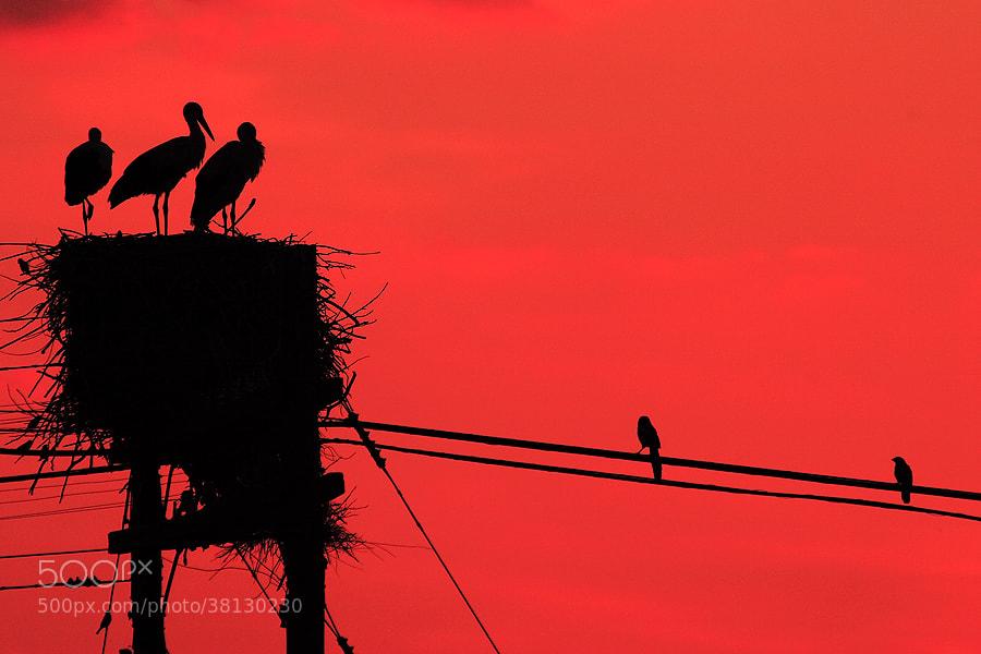 Photograph White Storks & Dusk by Andrés López on 500px