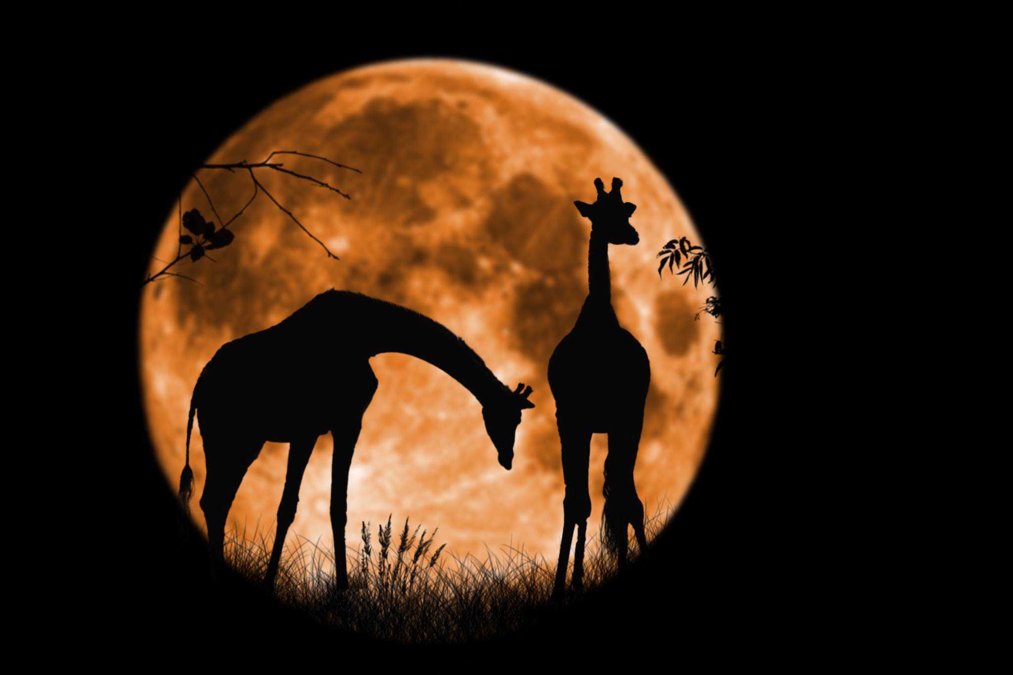 Photograph Giraffes at Full Moon by Tony Antoniou on 500px