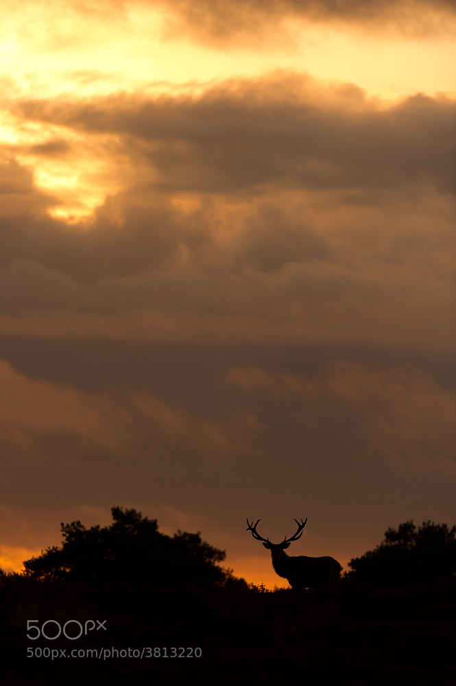 Photograph Red deer at sunset by Edwin Kats on 500px