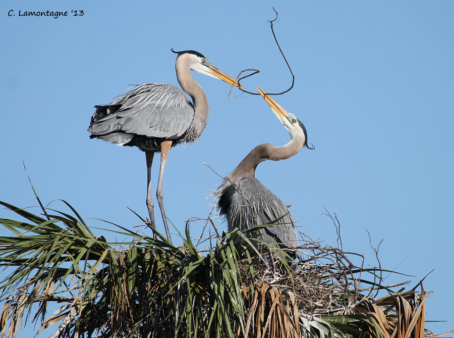 Great Blue Herons nest building. It was amazing to watch them. The male would fly off and pick out the perfect branch and bring it back to his mate and offer it to her. She would then place it strategically in the nest.   Taken at Viera Wetlands.