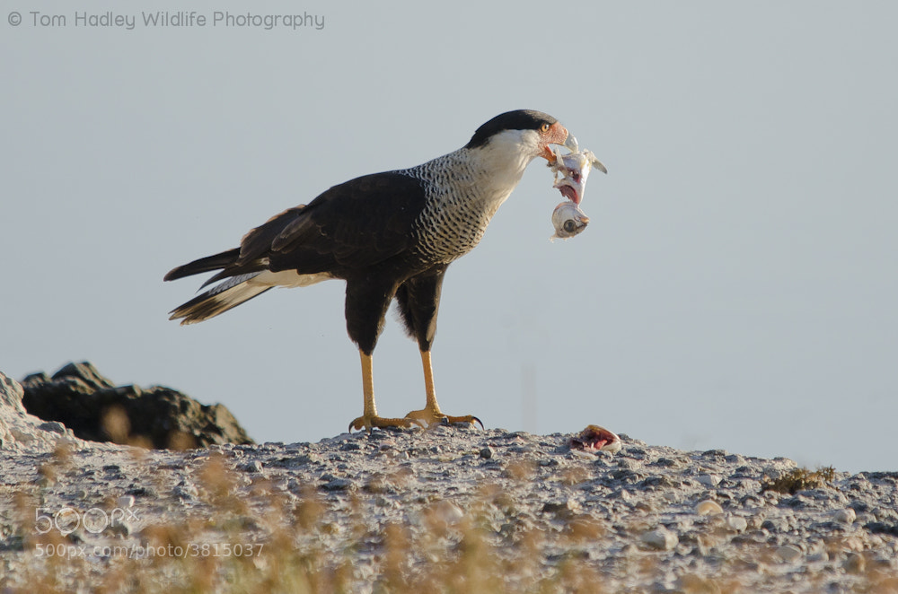 Photograph Crested Caracara scavenges breakfast by Tom Hadley on 500px