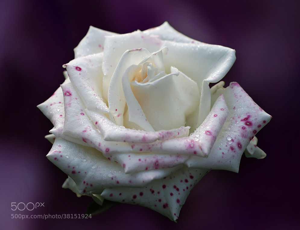Photograph White rose by Hristo Gergov on 500px