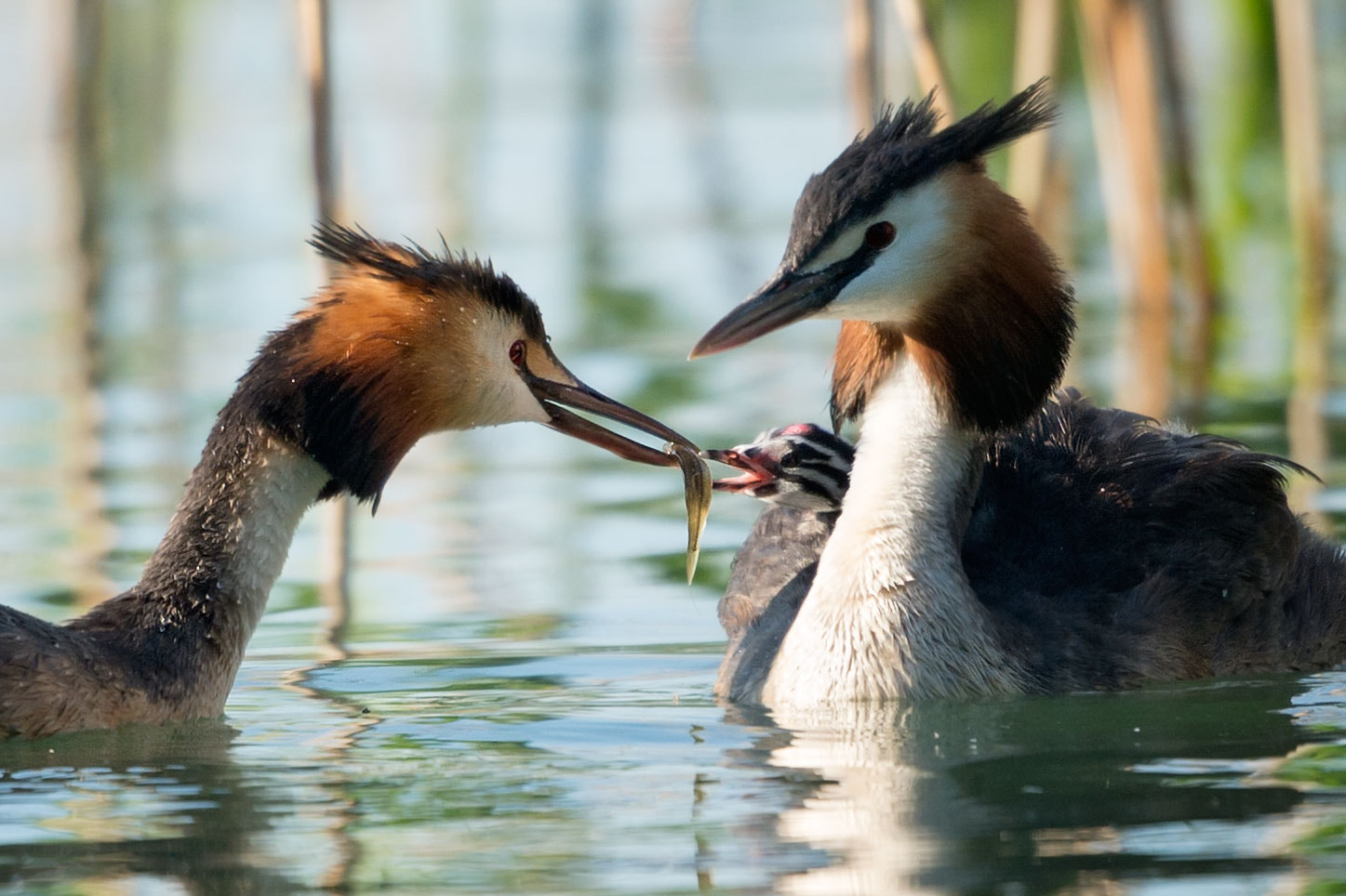 Photograph Haubentaucher - Fütterung | Great crested grebe - feeding (Close-Up) by Franz Engels on 500px