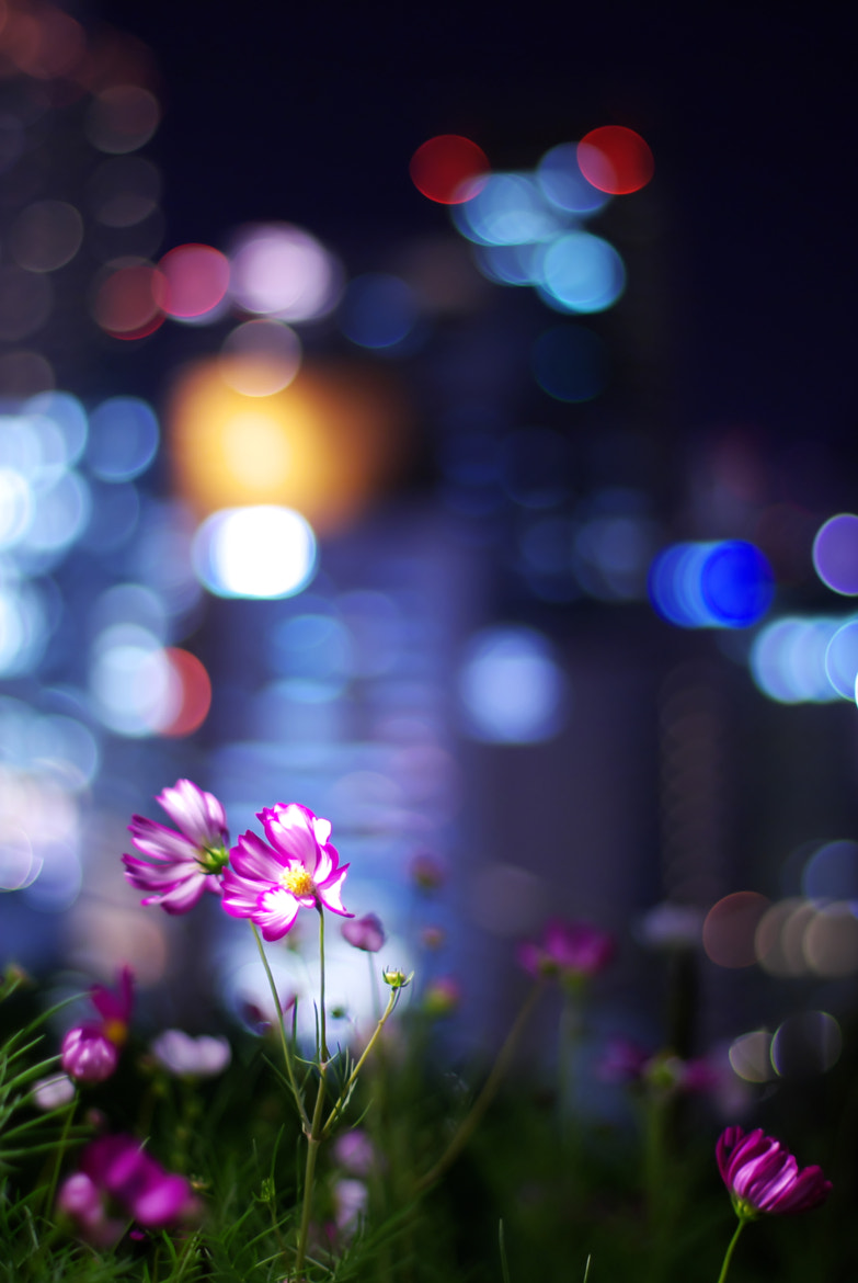 Photograph Flower of the night - Cosmos - by Hideki Kawabata on 500px