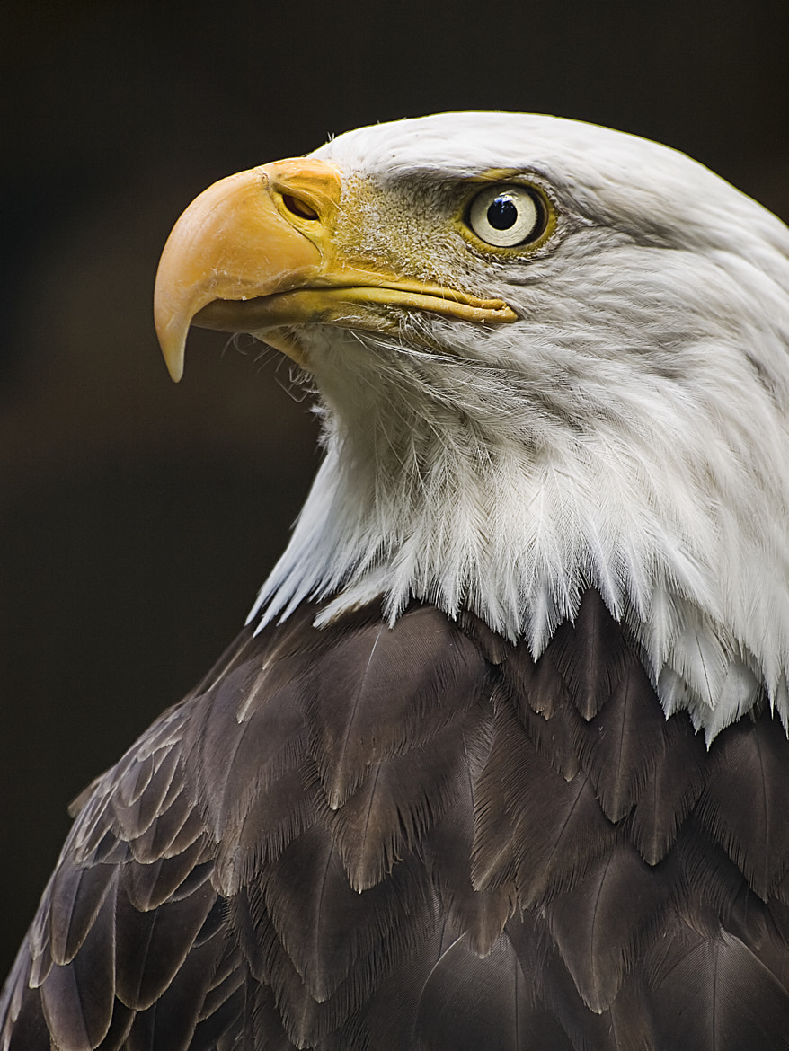Photograph Bald Eagle by Fromac  on 500px