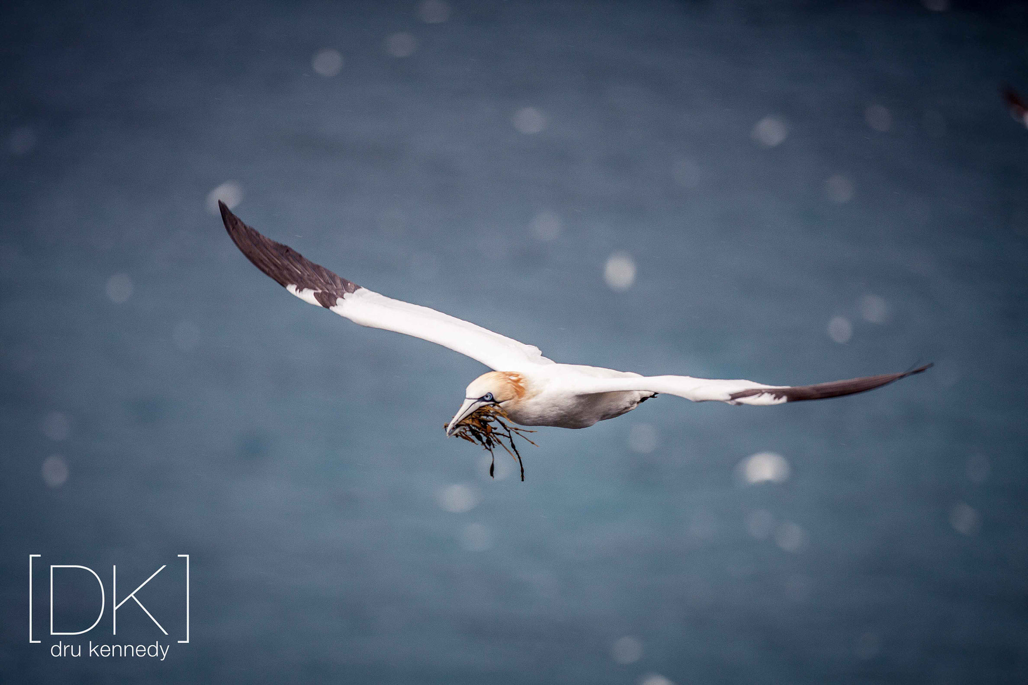 Photograph Nesting Gannet by Dru Kennedy on 500px