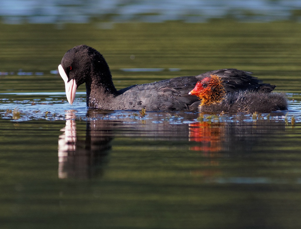 Photograph Coot, mum and chick by Tord Andreasson on 500px