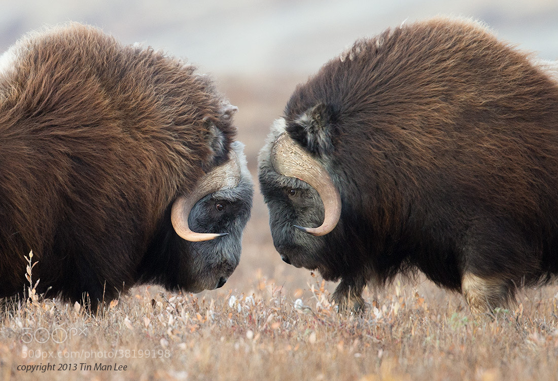 Photograph Muskox by Tin Man on 500px