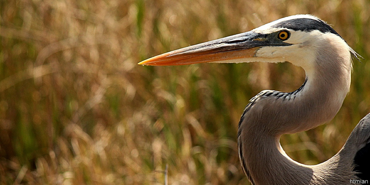 Photograph Blue Heron by htmian on 500px