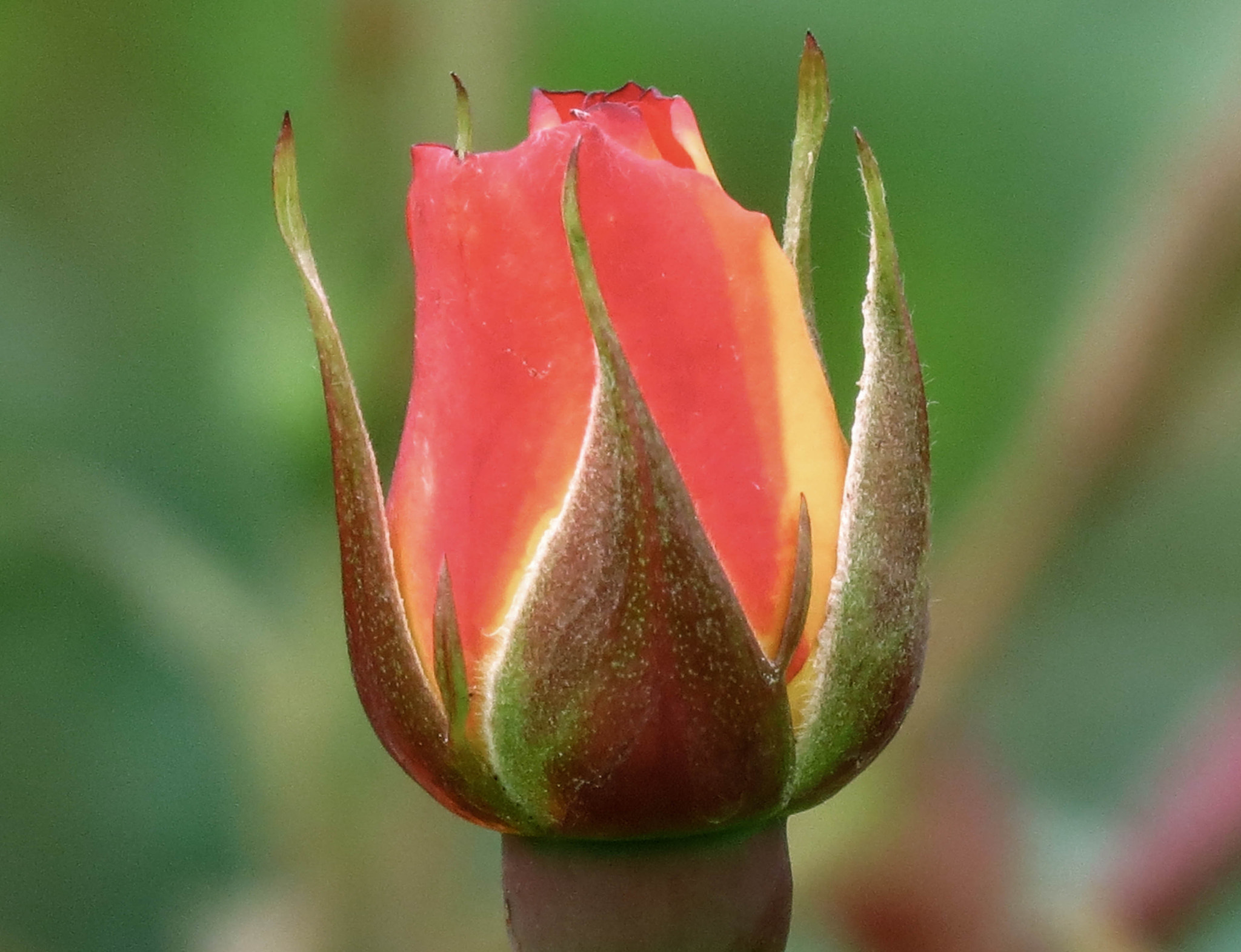 Photograph rose bud by alf M on 500px