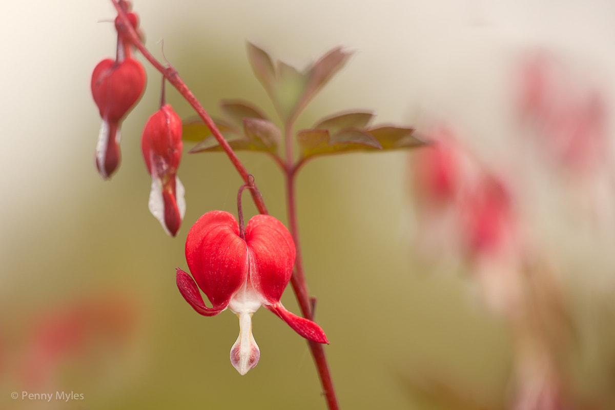 Photograph My Bleeding Heart by Penny Myles on 500px