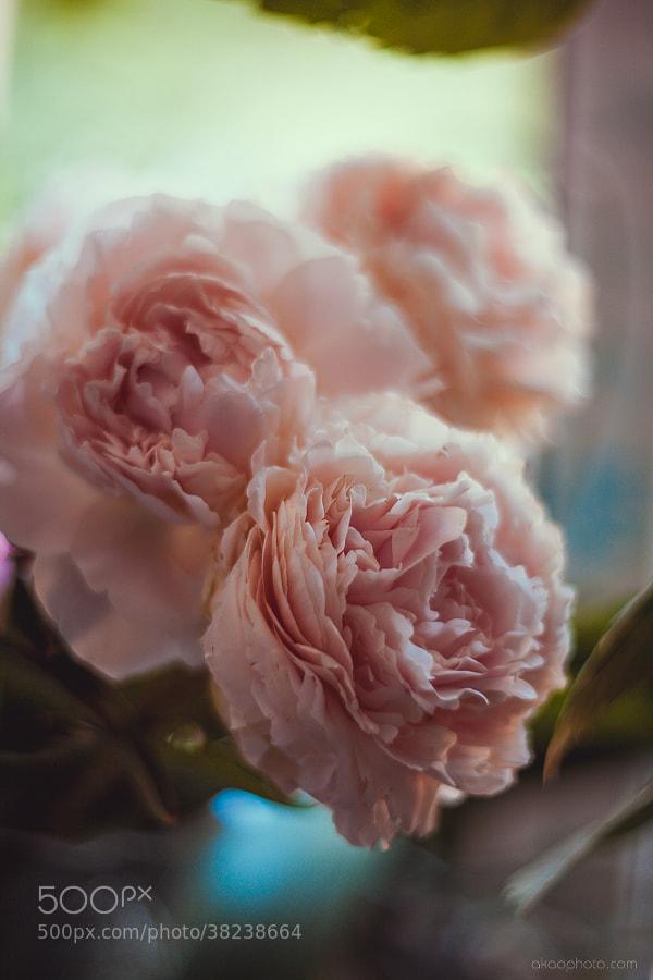 peony by Anastasia Novikova (Akao)) on 500px.com