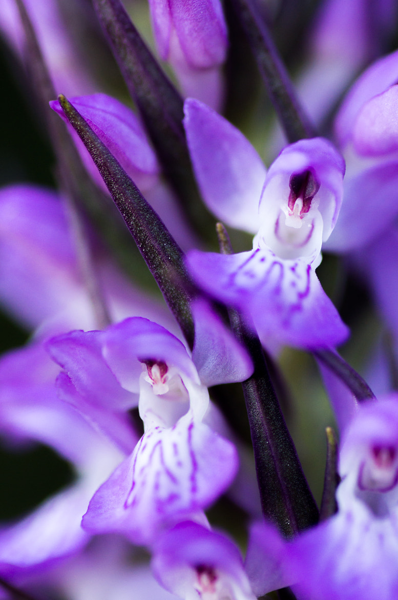 Photograph Dactylorhiza elata by Lluís Grau on 500px