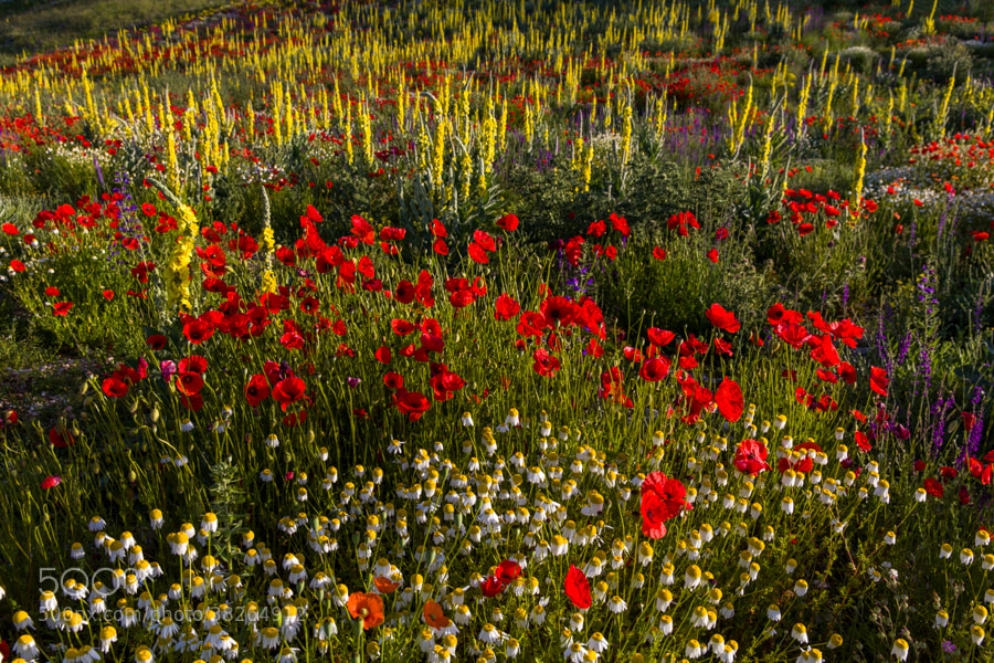Photograph Flowers from the mountains of Abruzzo by Hans Kruse on 500px