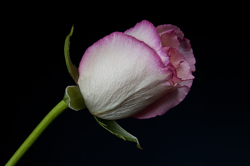Photograph Rose by Robert Moffett on 500px