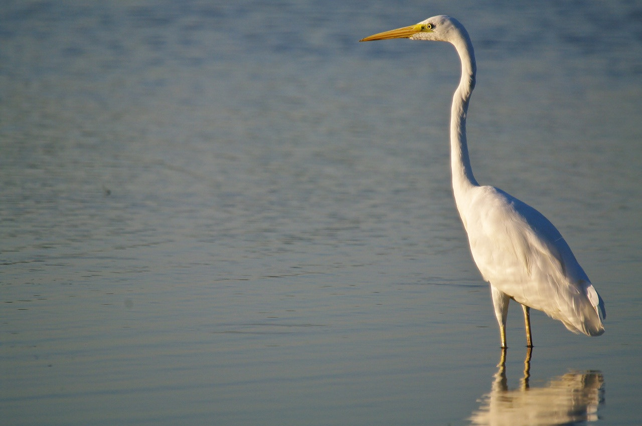 Photograph Egretta alba - Great Egret - Grande Aigrette by Pescalune Photo on 500px