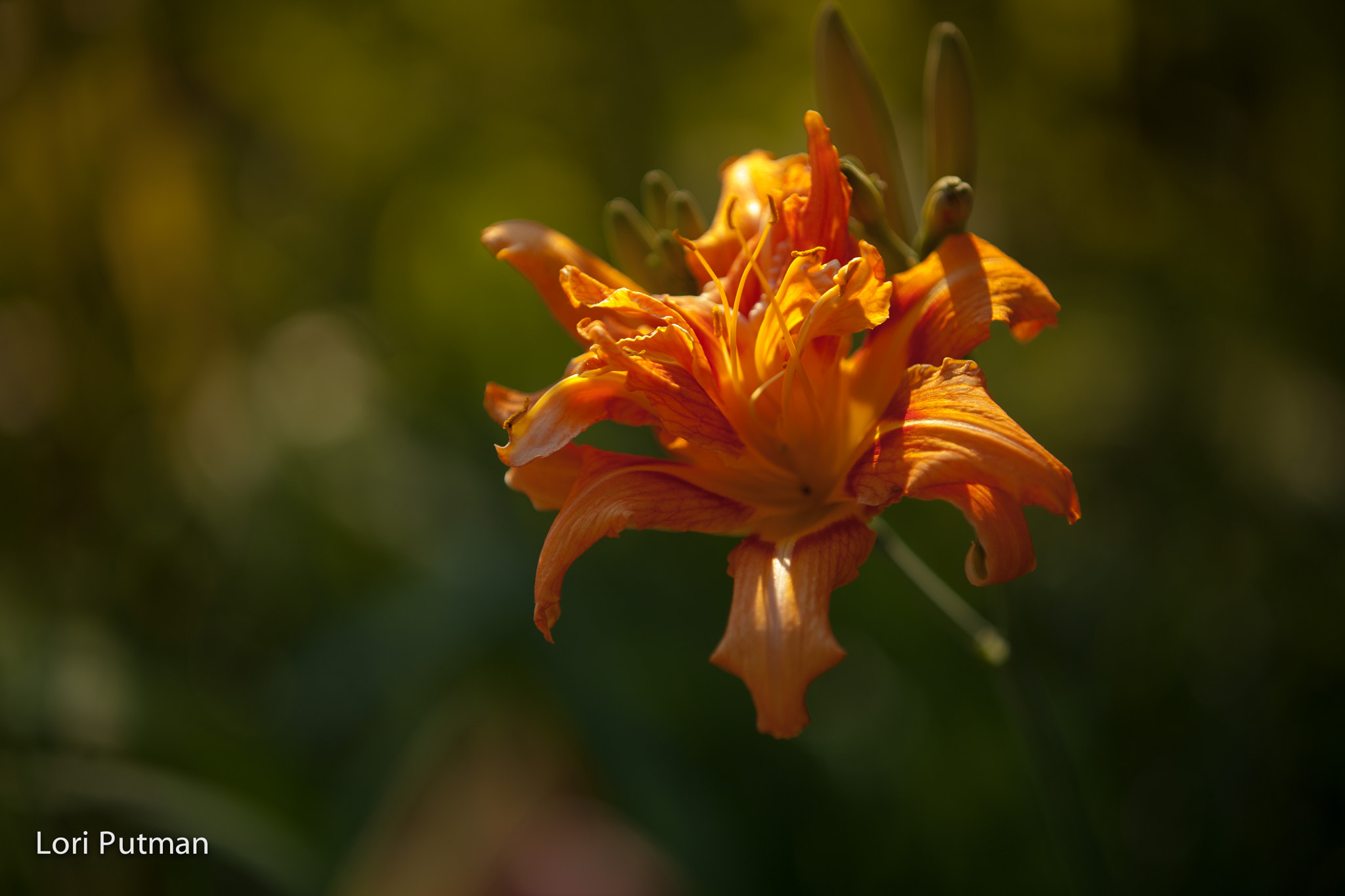 Photograph Blooming Day Lilly 1 by Lori Putman on 500px