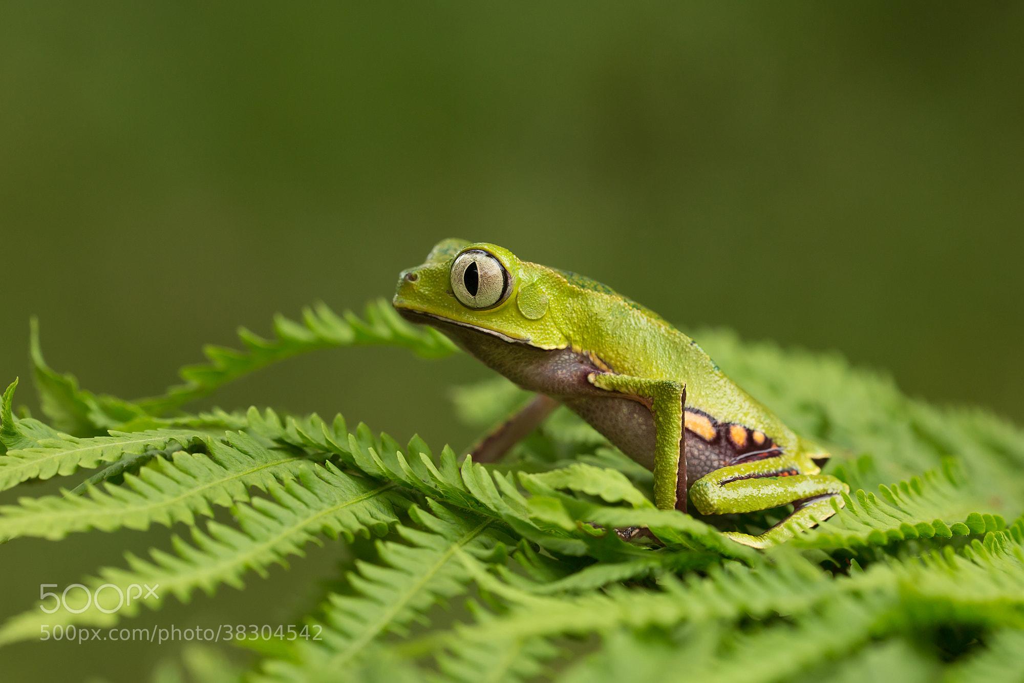 Photograph Phyllomedusa Vaillanti by Milan Zygmunt on 500px