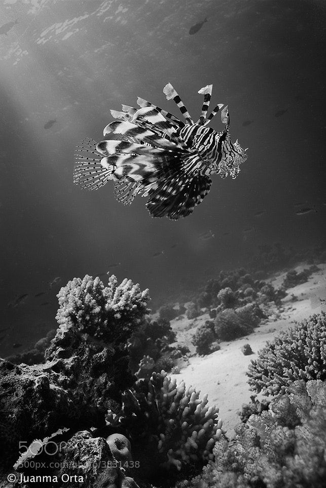 Photograph Lionfish by Juanma Orta on 500px