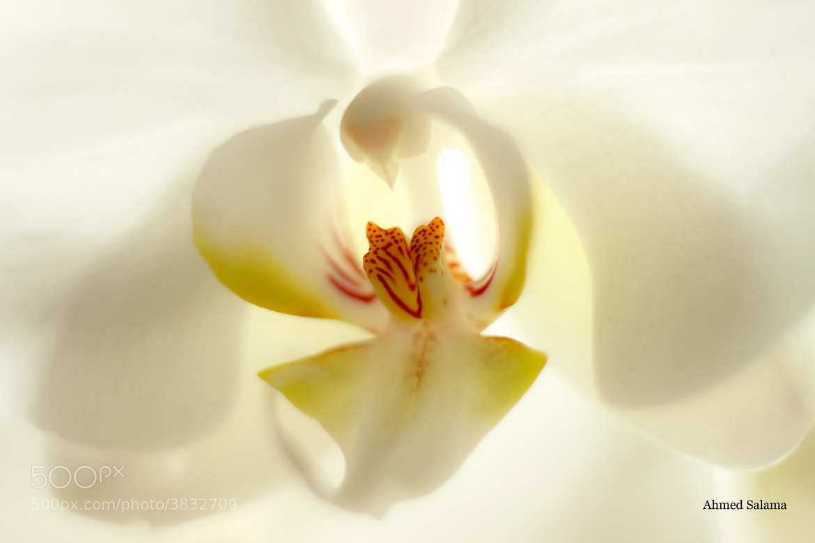 Photograph Orchid by Ahmed Salama on 500px