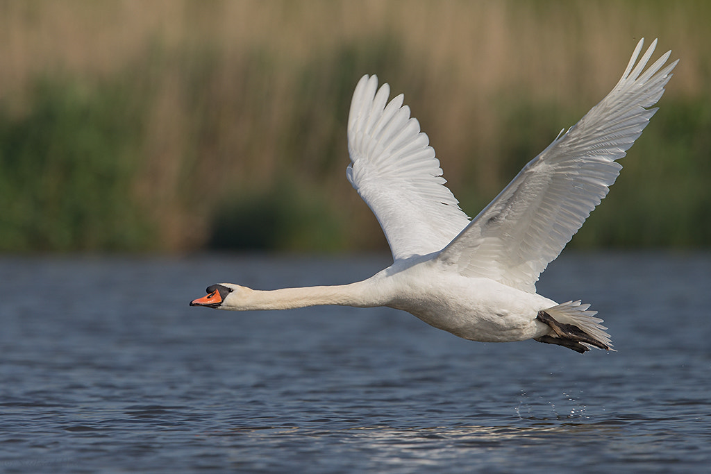 Photograph Take off - Mute Swan by Siegfried Noët on 500px