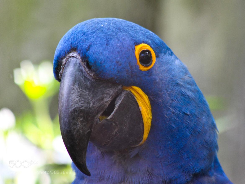 Photograph Blue parrot by Bastien Colmard on 500px