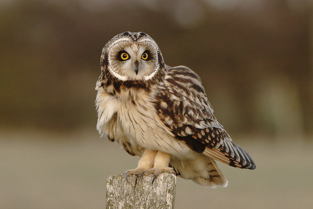Photograph Short Eared Owl by Phil  on 500px