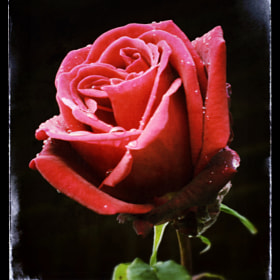 I took a picture of this rose in the rain many years ago, its the picture that started my interest in photography, I am always reminded of this every year when it comes into flower.