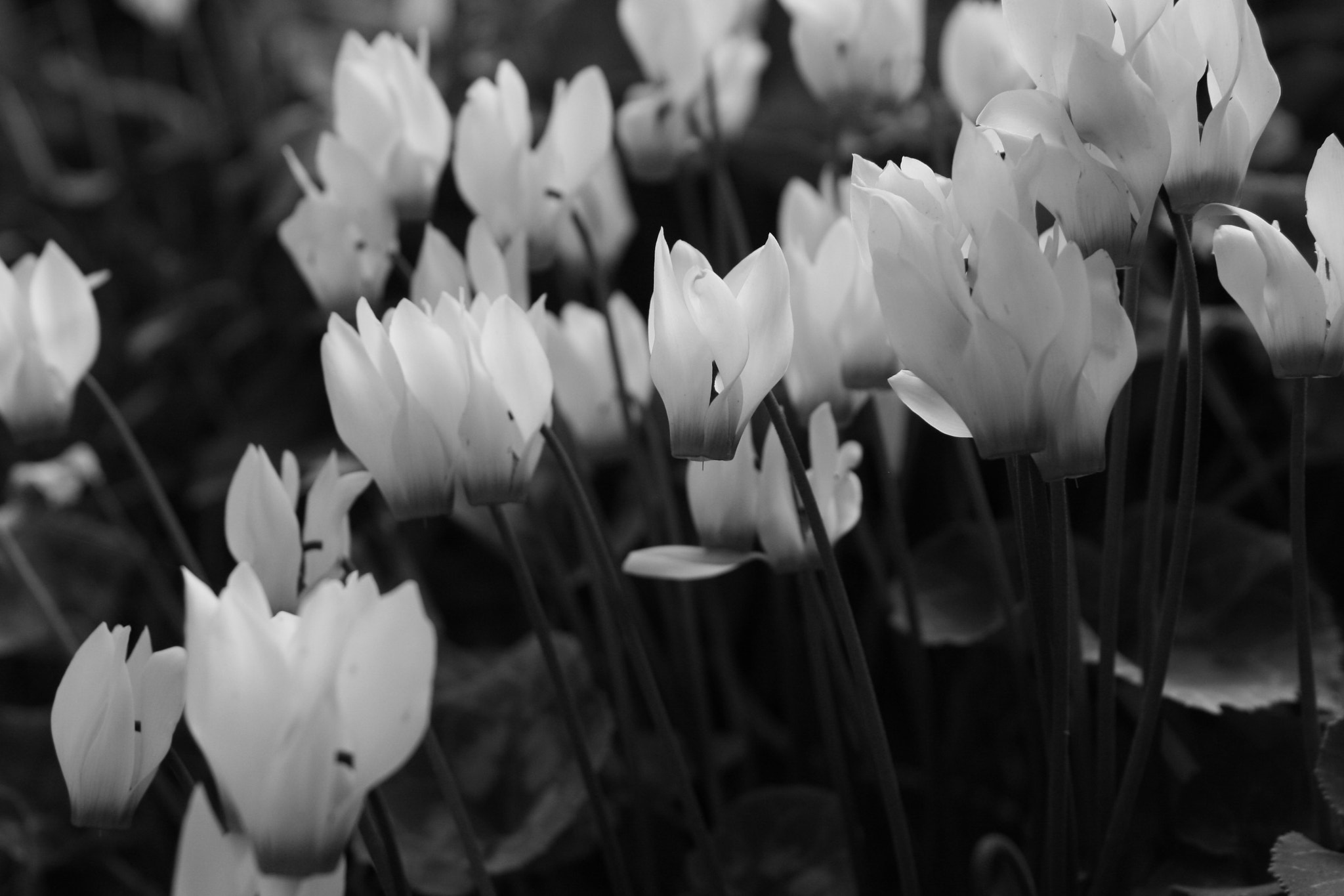 Photograph Cyclamen by Or Oron on 500px