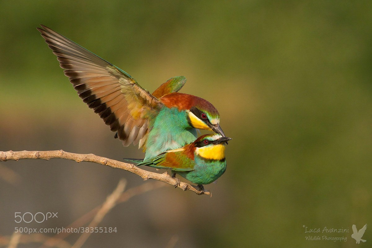 Photograph Bee eater by Luca Avanzini on 500px